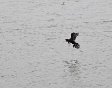 Cormorant_1
