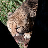 Van_Dyk_Cheetah_Reserve_03_23_155007