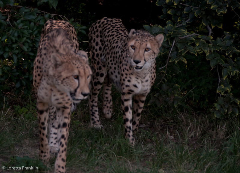 Van_Dyk_Cheetah_Reserve_03_23_154000