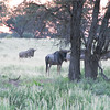 Wildebeeste_02