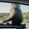 Baboons Cape Point Road-49