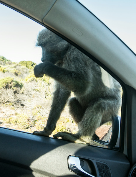 Baboons Cape Point Road-46