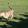 Cheetah_Run_03_24_082039-1