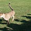 Cheetah_Run_03_24_082039-1