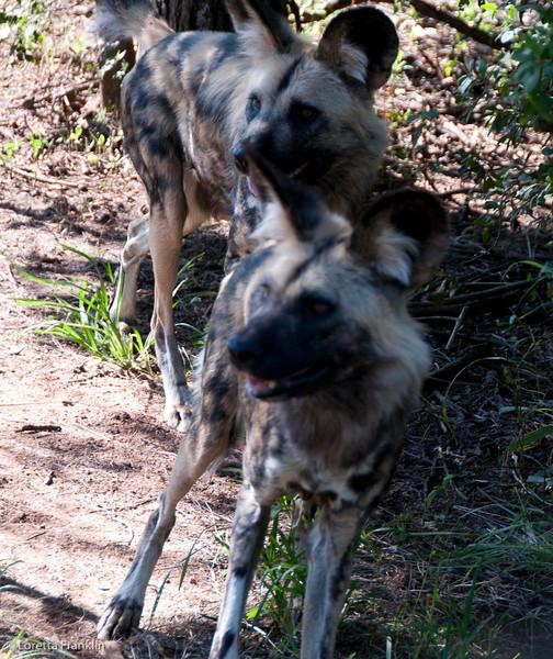 Van_Dyk_Cheetah_Reserve_03_23_152436