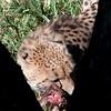 Van_Dyk_Cheetah_Reserve_03_23_154930
