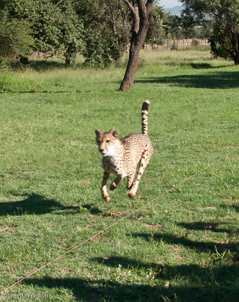 Cheetah_Run_03_24_082038-5