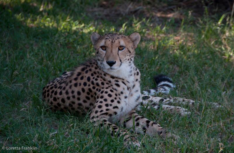 Van_Dyk_Cheetah_Reserve_03_23_154404
