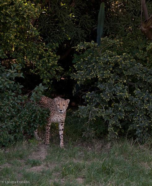 Van_Dyk_Cheetah_Reserve_03_23_153939