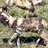 Van_Dyk_Cheetah_Reserve_03_23_151316