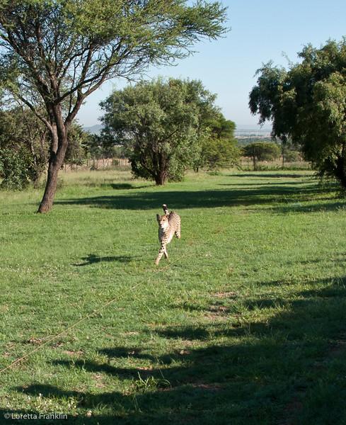 Cheetah_Run_03_24_082038-2