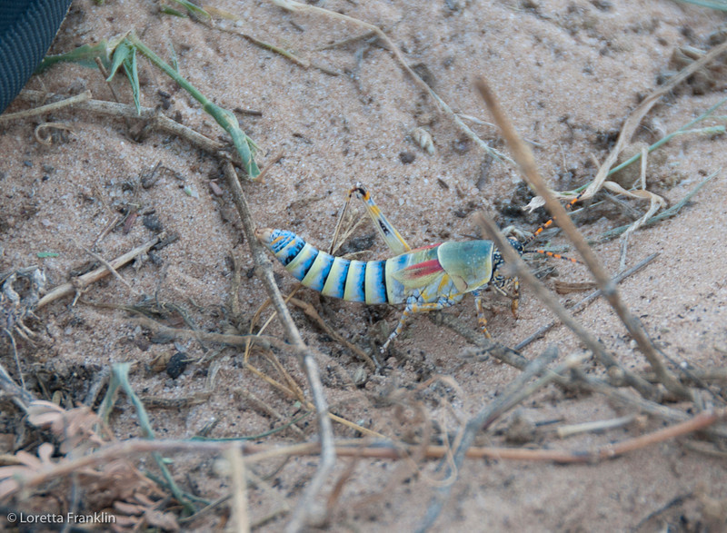 Drie_Doring_Grasshopper_Mar_15_112150