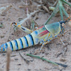 Drie_Doring_Grasshopper_Mar_15_112200