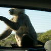 Baboons Cape Point Road-51