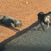 Baboons Cape Point Road-43