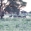 Wildebeeste_01