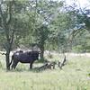 WildebeesteKruger_02