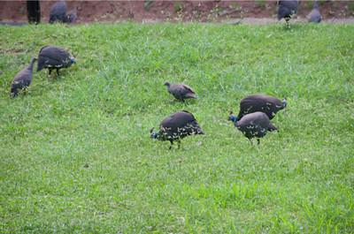 Guinea Fowl_01