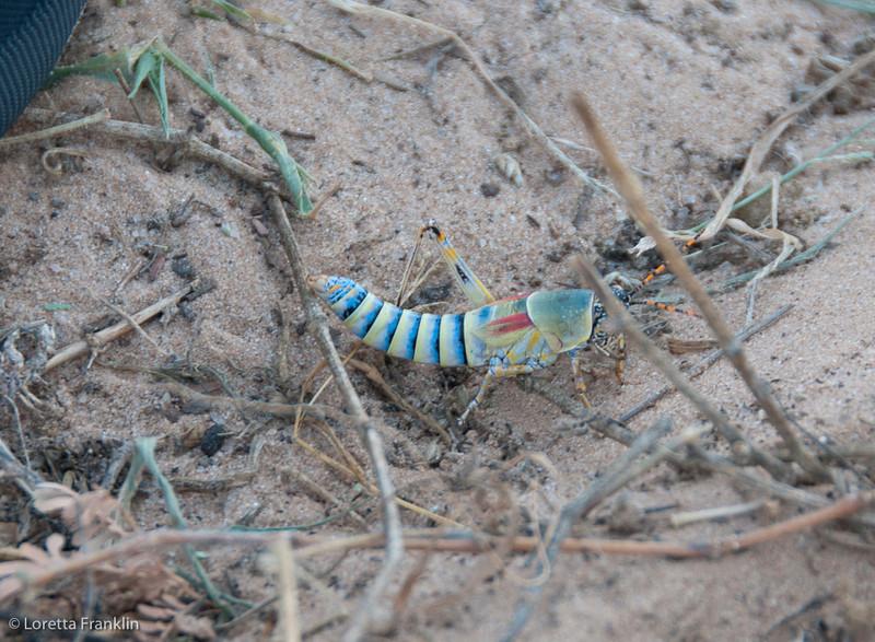 Drie_Doring_Grasshopper_Mar_15_112150_1