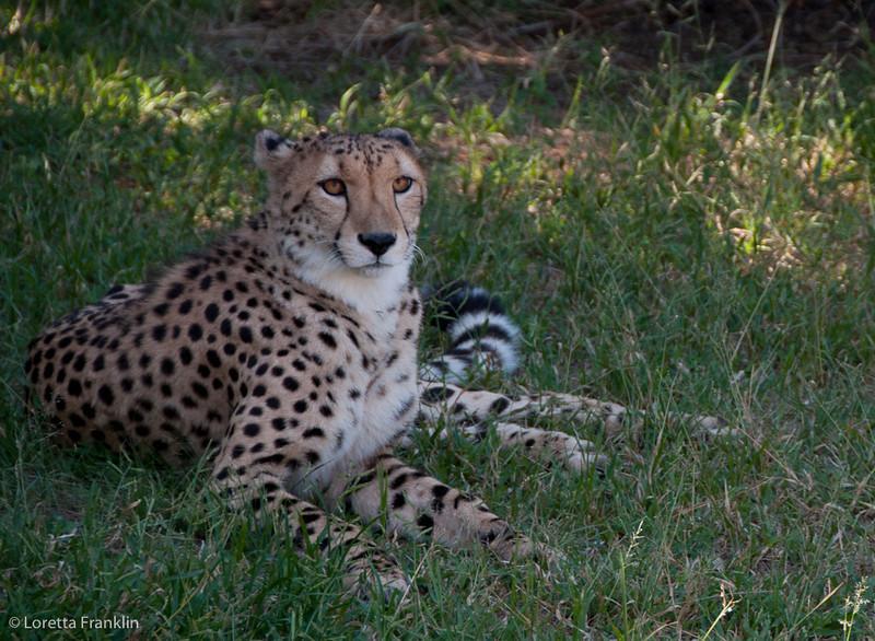 Van_Dyk_Cheetah_Reserve_03_23_154308