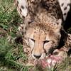 Van_Dyk_Cheetah_Reserve_03_23_155108