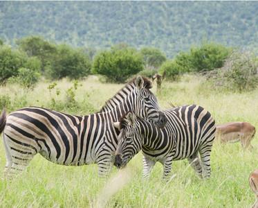 Zebras_006