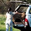 Cheetah_Run_03_24_081602
