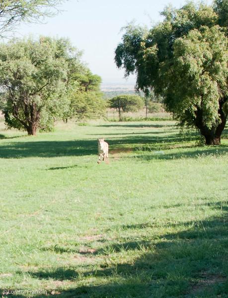 Cheetah_Run_03_24_082037-1