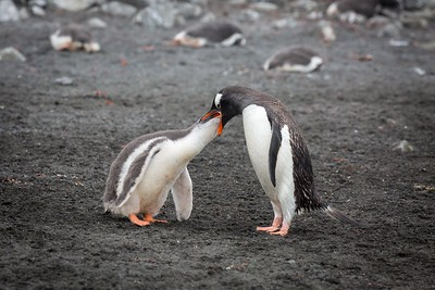 GENTOO PENGUINS - MOM FEEDING INFANT
