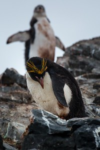 MACARONI PENGUIN, HANNAH POINT