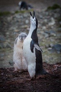 CHINSTRAP PENGUIN, HANNAH POINT