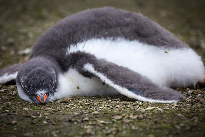 INFANT PENGUIN