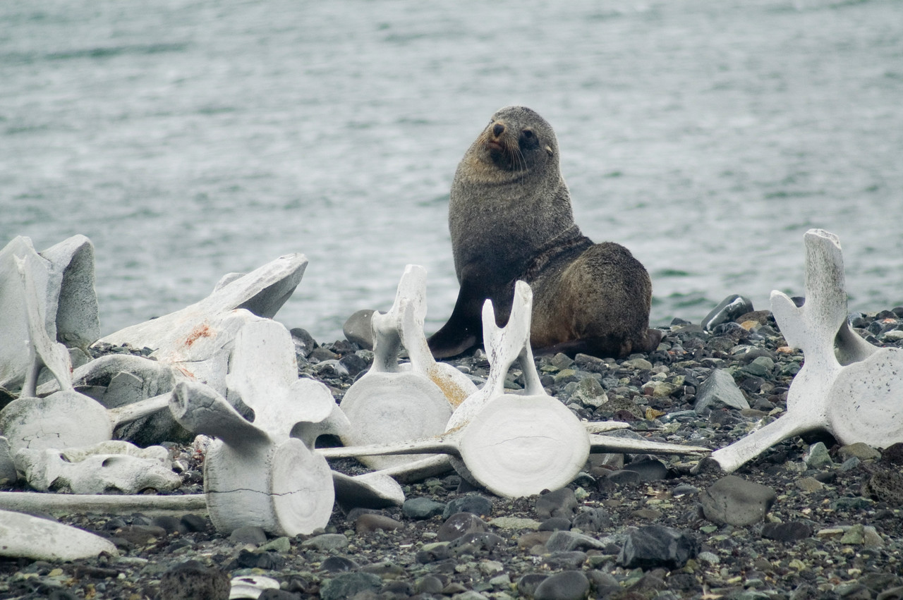 Fur seal amongst scattered whale bones.