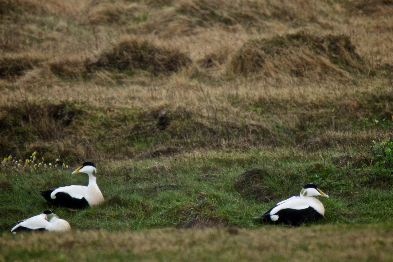 Male Eider Ducks (Eider ducks are the source of eider down which is removed from their nests)