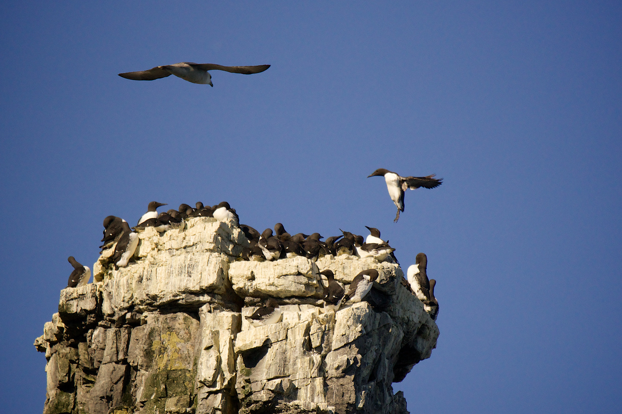 Murre and Fulmar at rocky spire Bear Island
