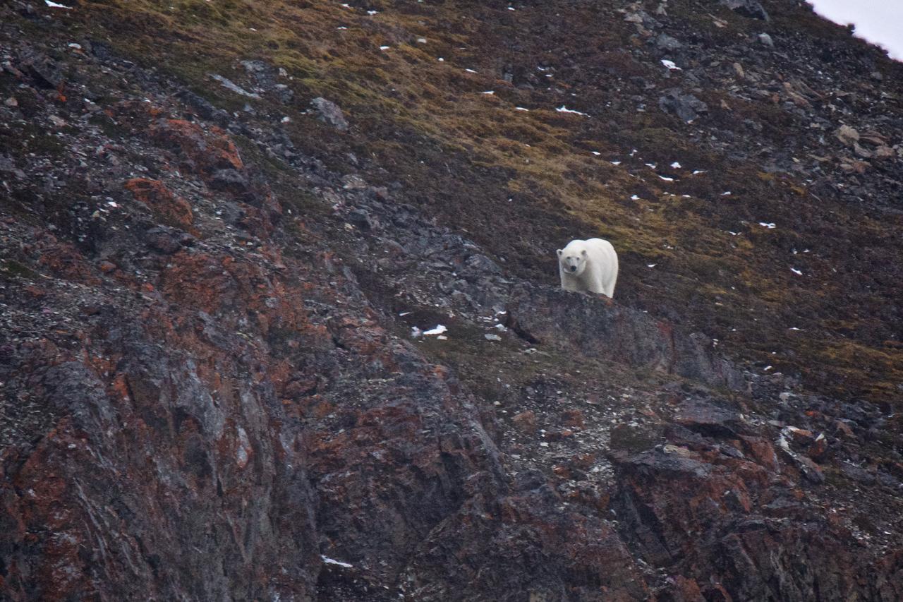 Polar bear hunting bird eggs