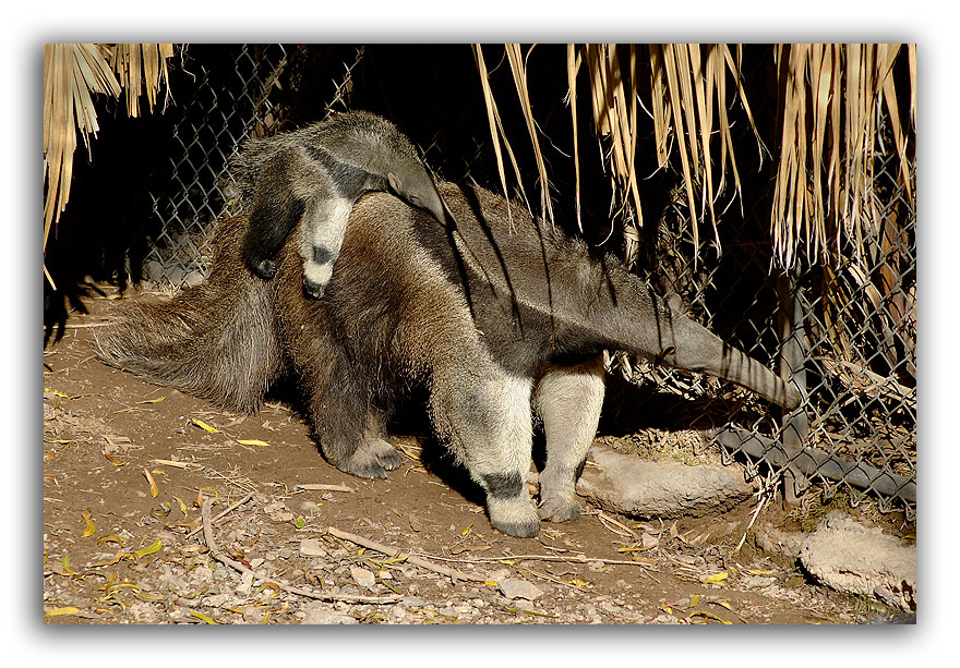 Mama-and-Baby-Anteater