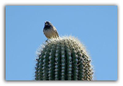 Birdie-on-Cactus