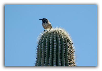 Birdie-on-Cactus-2