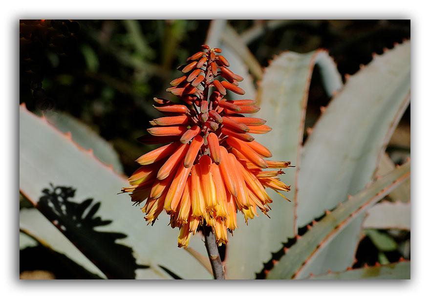 Succulent-Flower
