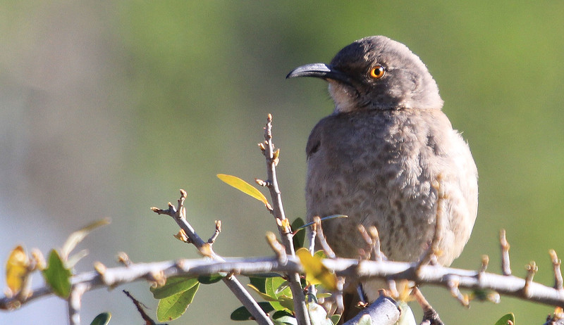 Curved-billed Thrasher - Ramsey Canyon