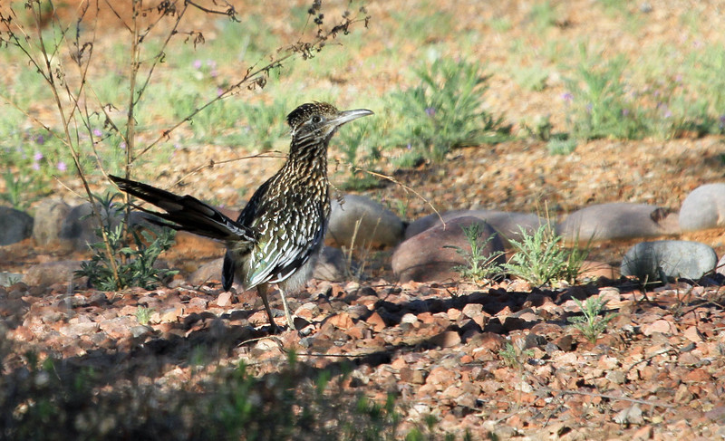 Greater Roadrunner - A cuckoo that runs on the ground.