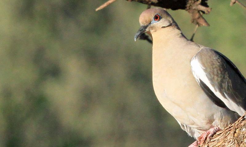 White-winged Dove - Casa de San Pedro