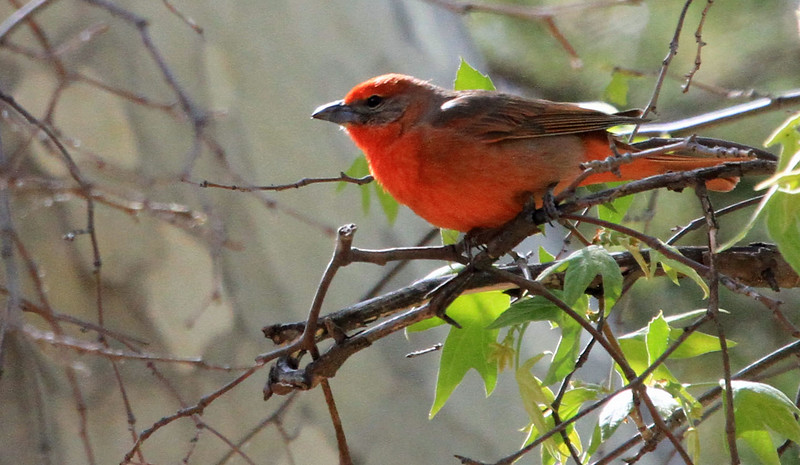 Hepatic Tanager - Ramsey Canyon