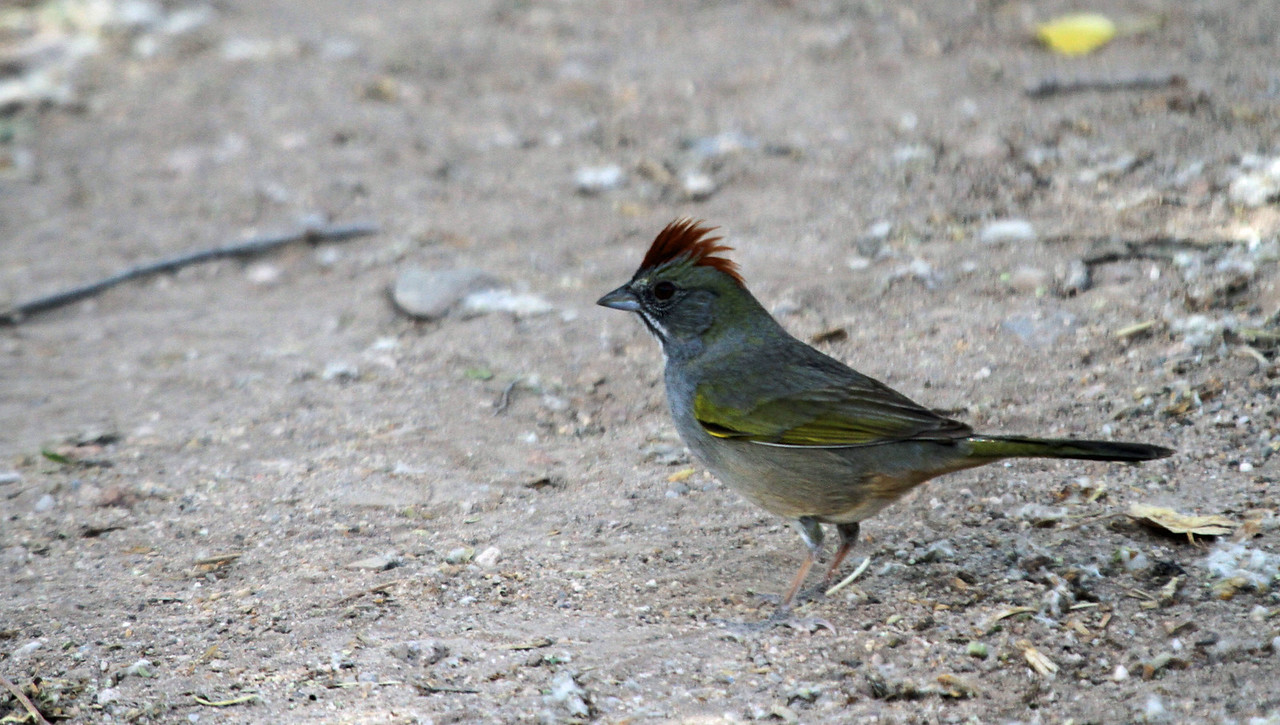 Green-tailed Towhee - San Pedro House