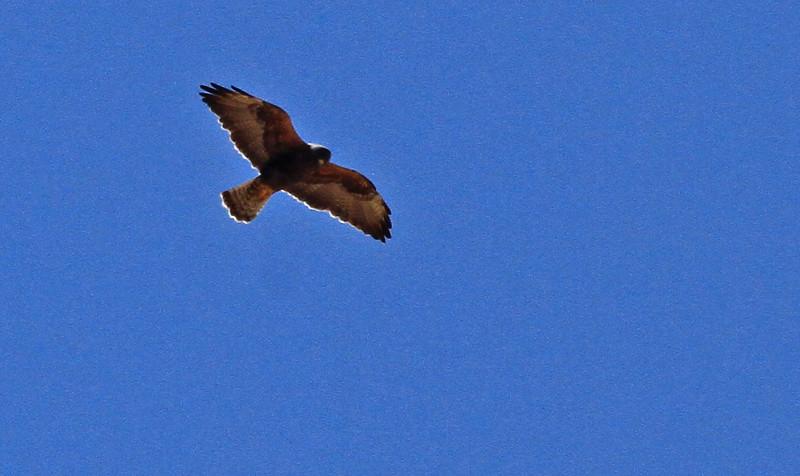 Swainson's Hawk, Dark rufous morph - Gila River