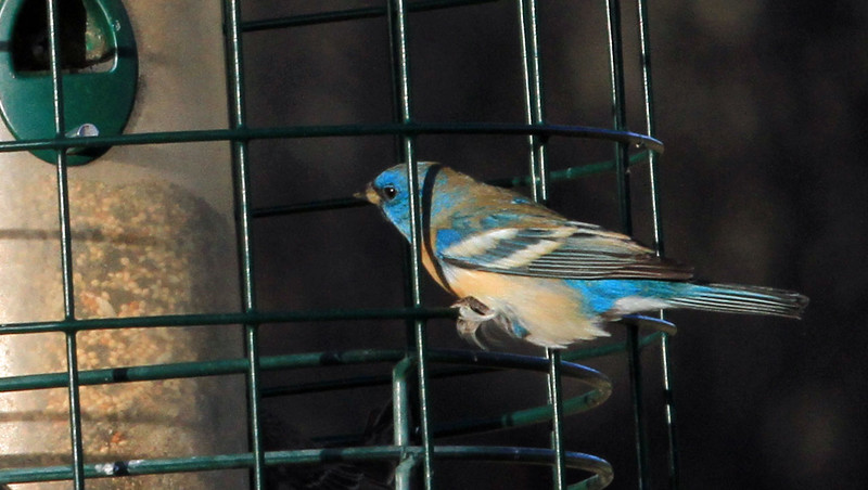 Lazuli Bunting - Casa de San Pedro