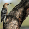 Gila Woodpecker - Ramsey Canyon