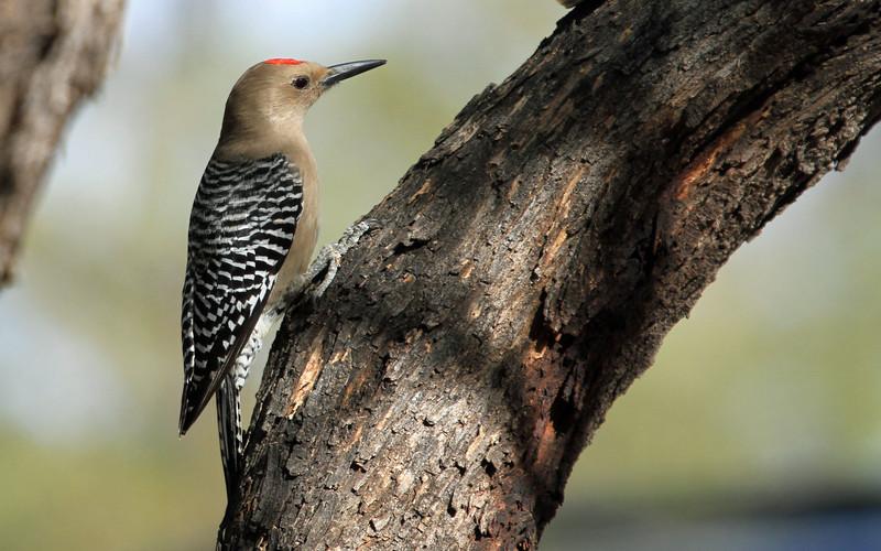 Gila Woodpecker - Ramsey Canyon