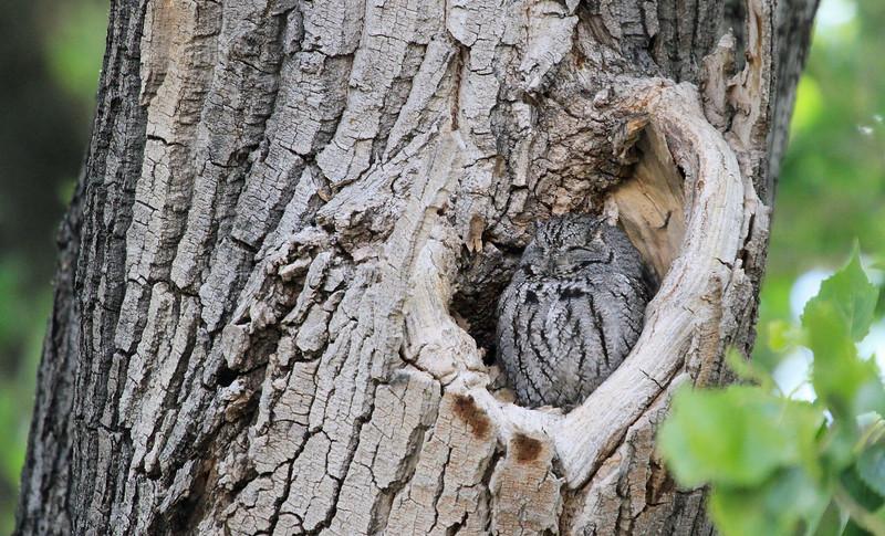 Western Screech Owl - San Pedro House